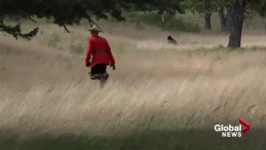 Mountie in red serge chasing black bear from Waterton campground captured on video