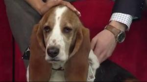 Meet Gertie, the Basset Hound staring in Vancouver's Bard on the Beach