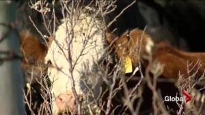Cattle and grain farmers optimistic on EU-Canada trade deal