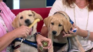 BC and Alberta Guide Dogs seeks new puppy raisers