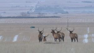 Elk hunt near CFB Suffield