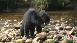 Critter Care Wildlife Society caring for record number of bear cubs