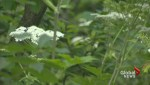 Toxic plants popping up in Toronto parks