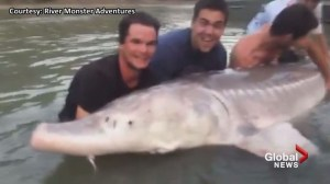 600-lb sturgeon caught in BC's Fraser River