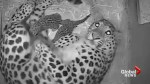 Mother cares for two rare leopard cubs born at UK zoo