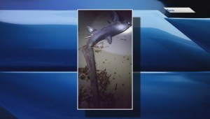 Tropical shark and 300-pound Blue Marlin wash ashore on N.S. beach