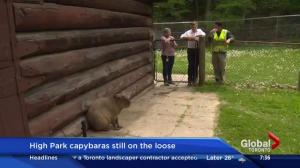 "More details on ""stealth"" operation to recapture escaped High Park Zoo capybaras"