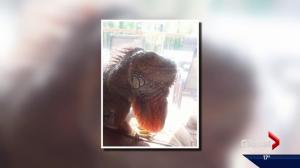 Gaylord the iguana goes missing in west Edmonton