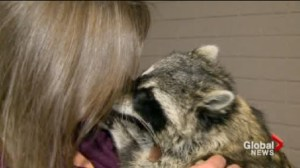Saskatoon woman fights to keep pet raccoon