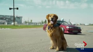 Saskatoon golden retriever on racetrack to fame as 'Jett the Drift Dog'