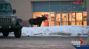 Two moose invade Calgary – one shot and killed