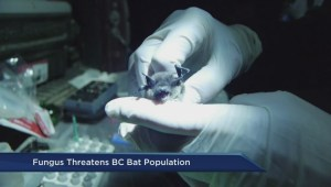 White-nose syndrome concern in BC bats