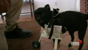 3-D printing helping injured animals in big way