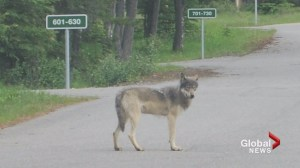 Second wolf euthanized after disturbances at Banff camp sites