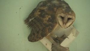 Extended: Port Mann owls enter rehabilitation