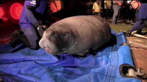 19 manatees rescued from storm drain