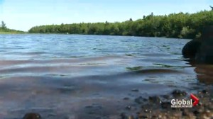 Blue-green algae in Moncton