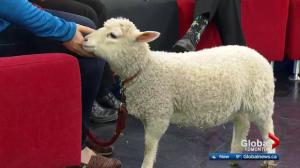 Edmonton Valley Zoo: Bubbles the lamb