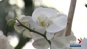 Gardening: Valentine's orchid arrangement