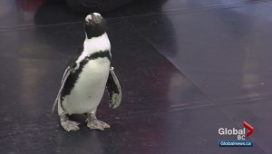 African penguin Lillooet