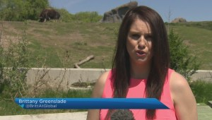 Musk ox injured after escaping enclosure at Assiniboine Park Zoo