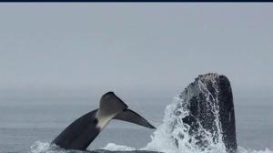Whale showdown captured by B.C. wildlife tour company near Jordan River
