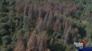 Bug infestations threaten Alberta forests