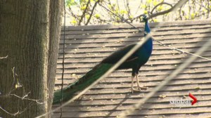Peacock takes Toronto by storm after daring zoo escape