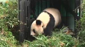 Watch the moment a giant panda is released into the wild