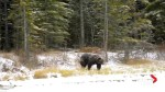 Four young grizzly bears killed in Banff National Park