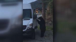 Video captures B.C. black bear opening van door