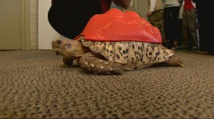 Rescued tortoise receives 3D printed protective shell