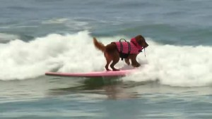 Footage of dog surfing competition in San Diego