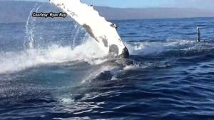 Whale rams tour boat in Hawaii