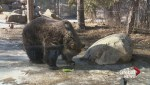 Saskatoon zoo's grizzlies wake from hibernation for 1st time