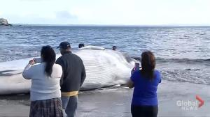 30ft dead whale washes up on a beach in Chile