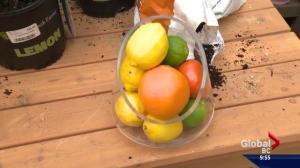 Gardening: Citrus trees