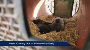 Warm BC winter has impact on hibernating bear population