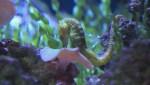 UBC study helps protect seahorses