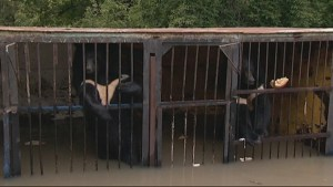 14 bears awaiting evacuation from flooded zoo