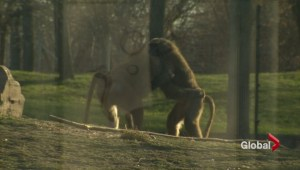 Baboon battle erupts for throne at Toronto Zoo