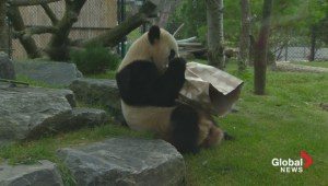Giant Panda opens birthday gift at Toronto Zoo
