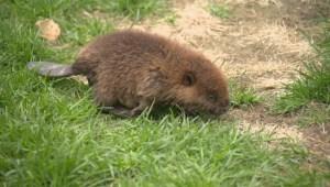 Baby beaver rehab