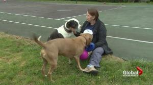 Montreal pit bull ban: Maritime animal shelters may take in 'dangerous breeds'