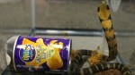 L.A. man accused of smuggling king cobras in potato chip cans