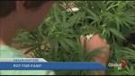BC-CfE wants doctors to prescribe marijuana for pain