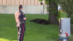 Black bear found in Saskatoon euthanized by SERM officers