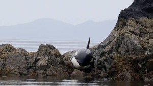 Scientists and volunteers rescue young orca