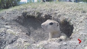 Early spring means early gopher population boom in Calgary
