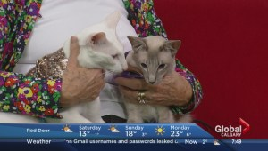2014 Fall Chinook Country Cat Show